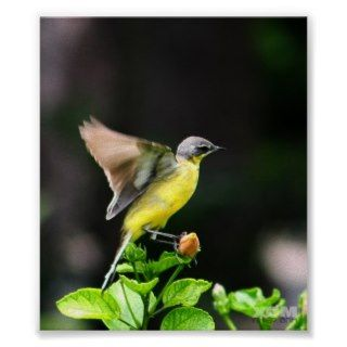 Humming Bird Taking   Off   Poster Print
