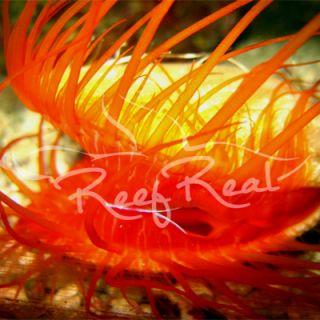 2 Flame Scallops Saltwater Reef Aquarium Live Fish Coral Cleaner Crew