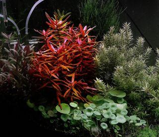 Nesaea Crassicaulis Live Tropical Aquarium Plant Fish Tank Java CO2 Koi Pond