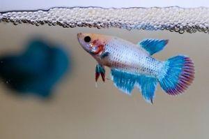 20 Catappa Leaf for Live Male Female Breeding Betta Fish Aquarium Angel Tank