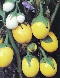Ornamental Eggplant Golden Eggs Seeds V85