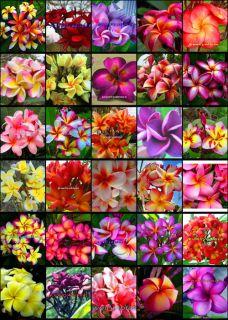 "Plumeria Frangipani Flowers Plants ""MIXED30 Type"" 50 Seeds"