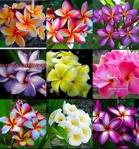 "Plumeria Frangipani Flowers Plants ""Mixed"" 50 Seeds"
