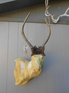 Cool Forked Horn 2x2 Elk Rack Antlers Taxidermy Deer Mule Whitetail Sheds Mount