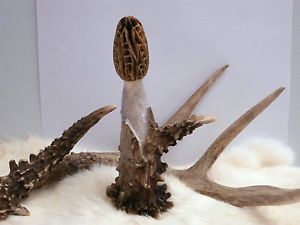 Gorgeous Hand Carved Morel Mushrooms Deer Elk Antler Sheds Horns Carvings 3