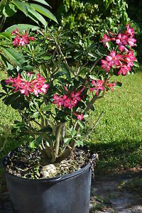 Adenium Obesum Desert Rose Well Rooted Plant Huge Over 4 Feet Tall