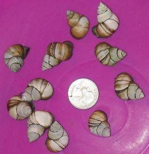 25 SM Live Trapdoor Snails for Koi Pond Fish Aquarium