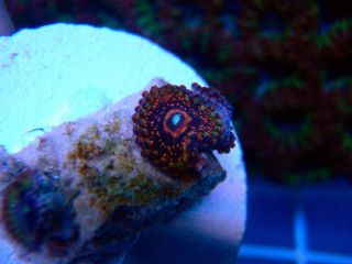 Freddy Krueger Paly You Get 1 Polyp SPS LPS Live Coral Zoas