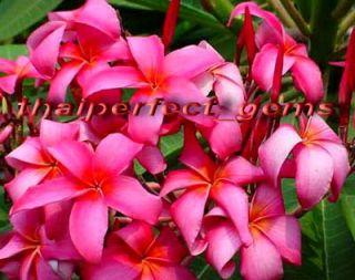 """Plumeria Frangipani Plants """"WINDWHEEL2"""" 50 Seeds"""