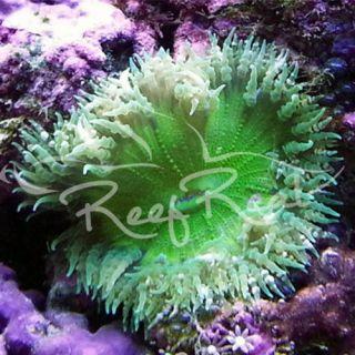 2 Green Flower Anemones Saltwater Reef Aquarium Live Fish Coral
