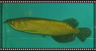 "Australian Pearl Gold Arowana 6 5"" Live Freshwater Aquarium Fish"