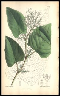 1881 Curtis Botanical Print Copper Engraving Hand Colored Japanese Knotweed