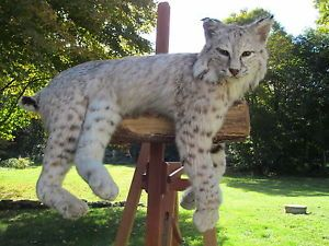 Fine Bobcat Taxidermy Lifesize Wall Mount Sitting Deer Elk Wolf Antler