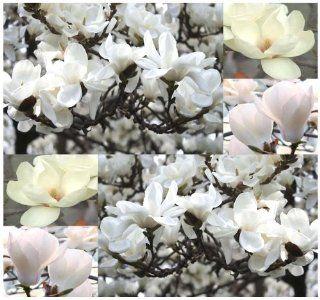 5 x Yulan Magnolia, Magnolia denudata, Tree Seeds SHOWY FRAGRANT FLOWERS   Official Flower Of Shanghai   Zone 6   9 : Tomato Plants : Patio, Lawn & Garden